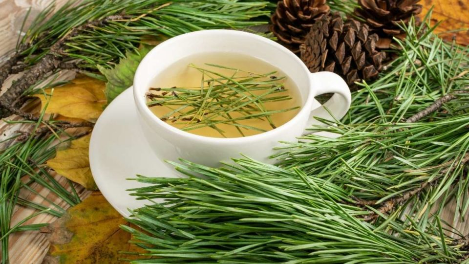 Pine Needle Tea Benefits and Side Effects
